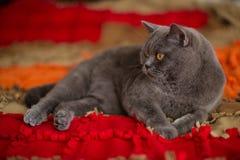 Beau chat britannique gris de shorthair Photographie stock libre de droits