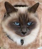 Beau chat brun Images libres de droits