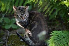 Beau chat d'animal familier Image libre de droits
