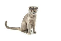 Beau chat d'isolement sur le blanc Images stock