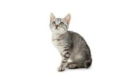 Beau chat d'isolement sur le fond blanc Photographie stock libre de droits