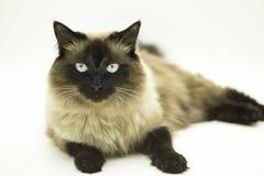 Beau chat d'isolement sur un fond blanc photographie stock libre de droits