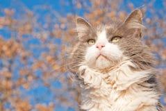 Beau chat de calicot dilué aux cheveux longs images libres de droits