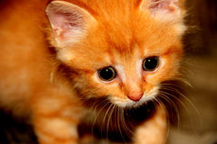 Beau chat de chaton Image stock