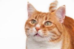 Beau chat de gingembre Photos libres de droits