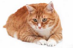 Beau chat de gingembre Image libre de droits