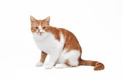 Beau chat de gingembre Images stock