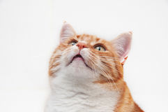 Beau chat de gingembre Photographie stock