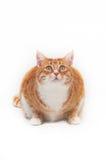 Beau chat de gingembre Photographie stock libre de droits