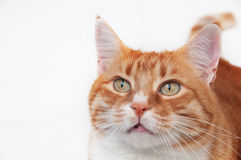 Beau chat de gingembre Images libres de droits