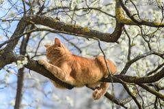 Beau chat de gingembre dormant sur l'arbre Image libre de droits