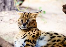 Beau chat de serval image stock