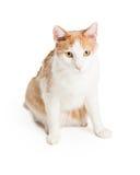 Beau chat domestique de race mélangé par Shorthair Images stock