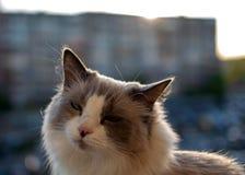 Beau chat domestique se reposant à l'arrière-plan du coucher du soleil images libres de droits