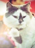 Beau chat gras dans l'effet modifié la tonalité foncé d'Instagram Photos libres de droits
