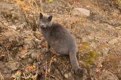 Beau chat gris Image libre de droits