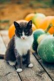 Beau chat gris et blanc sur un fond des potirons oranges sur le fond de vintage, plan rapproché photos libres de droits