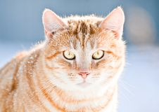 Beau chat jaune Photos stock