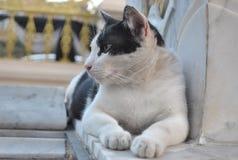 Beau chat noir et blanc Photo libre de droits