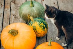 Beau chat parmi les grands potirons, images stock