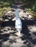 Beau chat pelucheux blanc avec des yeux rouges et une queue touffue Feuillage sec sur l'asphalte photographie stock