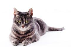 Beau chat rayé blanc brun gris Images stock