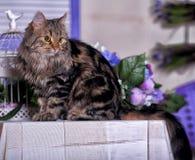 Beau chat rayé brun pelucheux Photos libres de droits