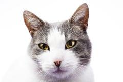 Beau chat renversant domestique dessus d'isolement sur le blanc Images stock