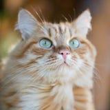 Beau chat rouge Image libre de droits