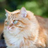 Beau chat rouge Photo stock