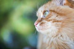 Beau chat rouge Photographie stock libre de droits
