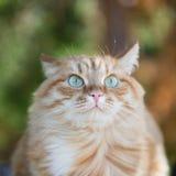 Beau chat rouge Photos libres de droits