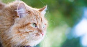 Beau chat rouge Images libres de droits