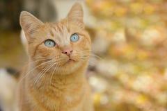 Beau chat rouge aux yeux bleus Photo stock