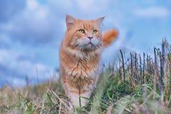 Beau chat rouge avec les yeux verts Images stock