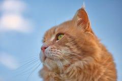 Beau chat rouge avec les yeux verts Image libre de droits