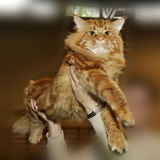 Beau chat rouge de Maine Coon Images stock