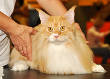 Beau chat rouge de Maine Coon Images libres de droits