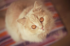 Beau chat rouge recherchant Photos stock