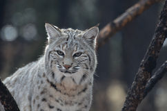 Beau chat sauvage Photo stock
