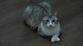 Beau chat se trouvant sur le plancher du stratifi? banque de vidéos