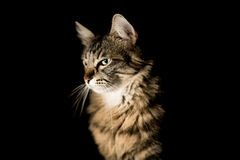 Beau chat sur un fond foncé image libre de droits