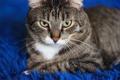 Beau chat tigr? brun sur le fond bleu Yeux verts Photographie ?tonnante photos stock