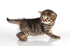 Beau chaton âgé mignon de 20 jours Photographie stock