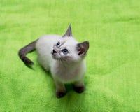 Beau chaton blanc avec des yeux bleus Images stock