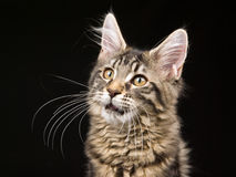 Beau chaton noir de ragondin du Maine de tabby sur le noir Photographie stock libre de droits