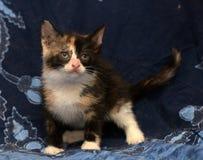 Beau chaton pelucheux tricolore photo stock