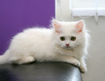 Beau chaton persan blanc photographie stock