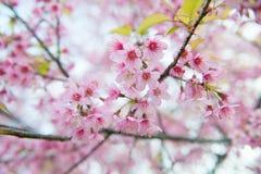 Beau Cherry Flower de l'Himalaya sauvage Photographie stock libre de droits