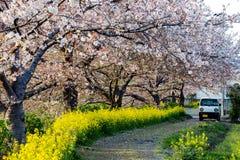 Beau Cherry Trees dans la fleur dans un jardin pendant le printemps Photo stock